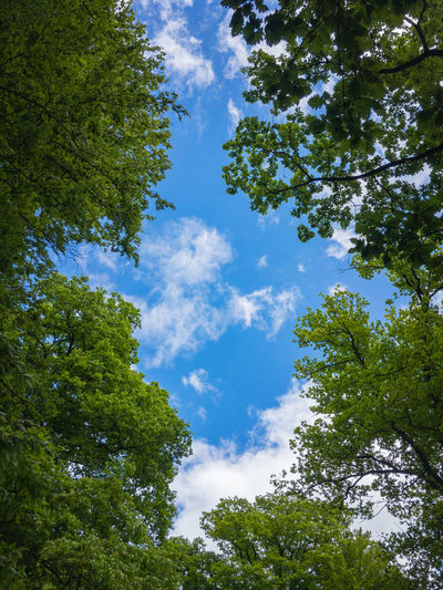 Blue sky with small white clouds through some beech trees in a forest Tree Plant Sky Low Angle View Cloud - Sky Green Color Growth Nature Beauty In Nature Day Tranquility No People Blue Outdoors Sunlight Tranquil Scene Scenics - Nature Branch Leaf Plant Part Directly Below Tree Canopy  Beech
