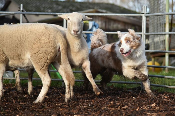 Herding Herding Training Sheep Herding Dog Dogslife Australian Shepherd