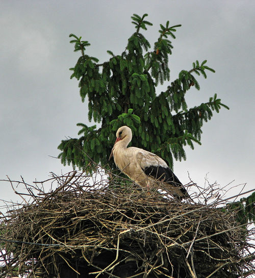 Transylvania Animal Themes Animal Wildlife Animals In The Wild Beauty In Nature Bird Bird Nest Close-up Day Low Angle View Nature No People One Animal Outdoors Perching Sky Stork Storks Tree White Stork