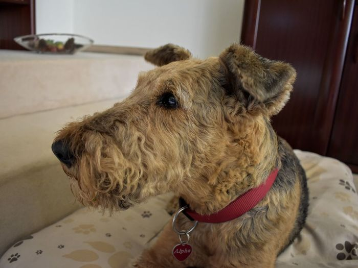 Airedale Terrier Terrier Pets Dog Protruding Close-up Pet Collar Animal Nose Snout Animal Mouth Animal Ear Animal Face At Home Adult Animal