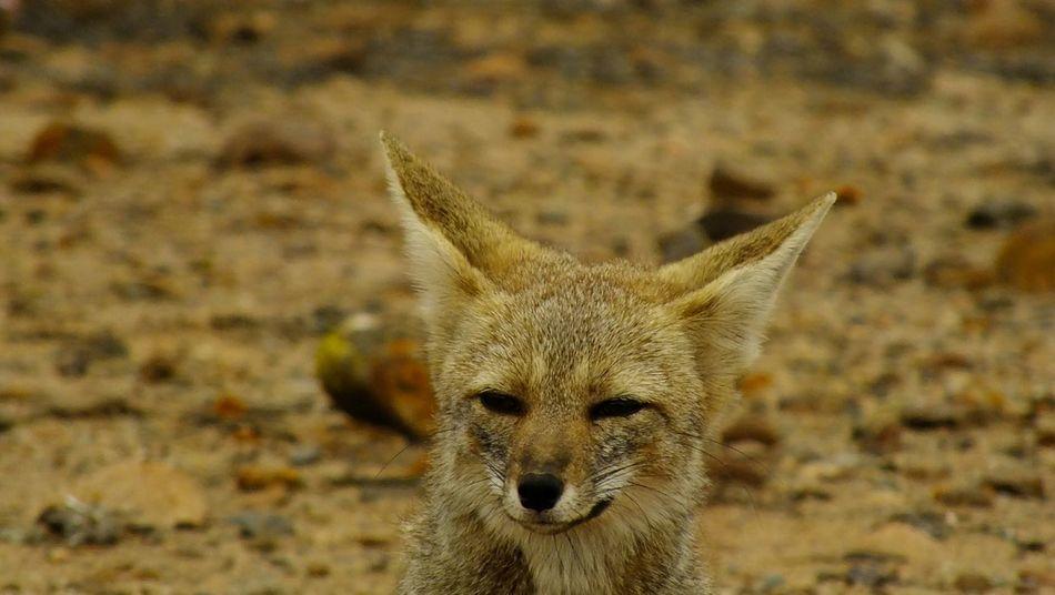 Animal_collection Fox🐺 Wildlife Portrait