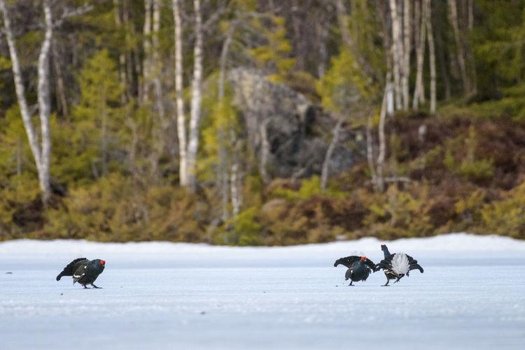 Ducks on snow covered landscape