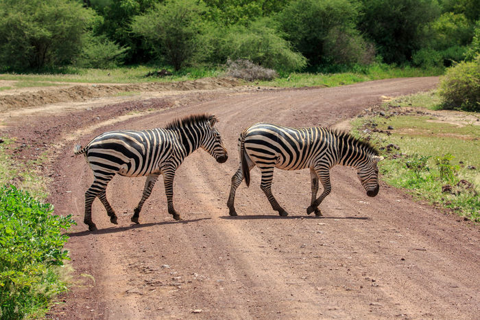 Zebra crossing - A pair of Plains Zebra crossing the road at Lake Manyara National Park in Tanzania Africa Animal Animal Themes Animal Wildlife Animals In The Wild Burchell's Zebra Equus Quagga Lake Manyara Mammal Nature Nature Nature Photography Plains Zebra Striped Tanzania Wild Wildlife Wildlife & Nature Wildlife Photography Zebra Zebra Crossing