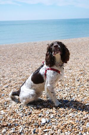 Rory ready for action Springer Spaniels Dogs Pets Summertime Taking Photos Gundogs Enjoying Life Beach Brighton