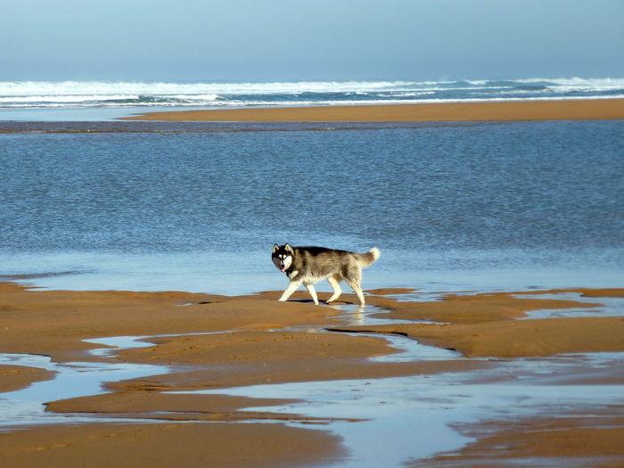 Husky On Shore At Beach