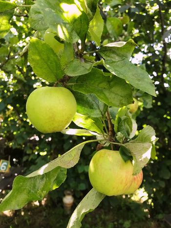 Apple Apple Tree Fruit Tree Leaf Growth Green Color Food And Drink Freshness Nature Outdoors Branch Food Healthy Eating Lemon Tree Day No People Unripe Low Angle View Focus On Foreground Agriculture