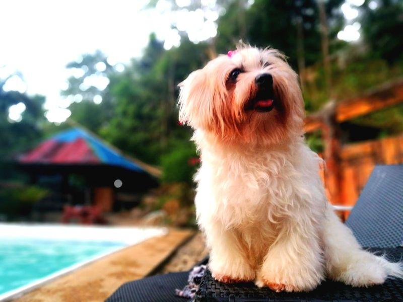 """shitzu"" #doglover #Puppylove #shitzu #MobilePhotography Pets Sitting Dog Portrait Cute"