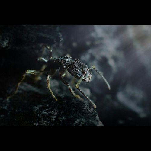 Black ant Serangga Photogrhapy
