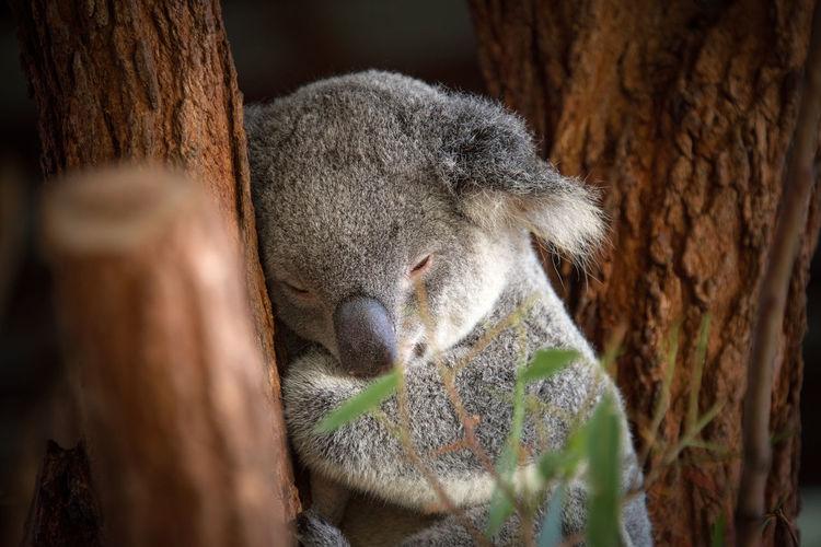 Sleepy Koala Animal Themes Animal Wildlife Animals In The Wild Branch Close-up Day Eyes Closed  Koala Mammal Nature No People One Animal Outdoors Sleeping Tree Tree Trunk