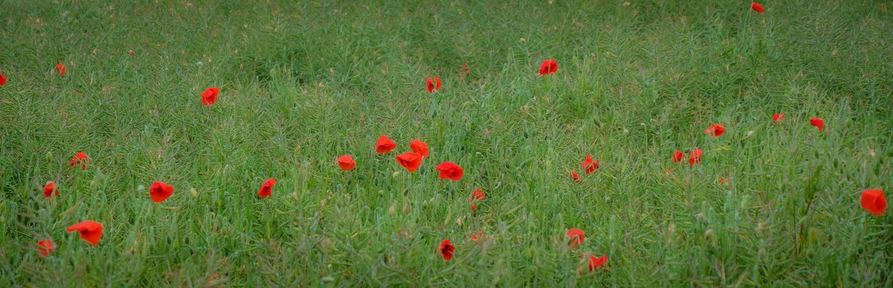 Poppies in the rain Plant Flowering Plant Growth Flower Green Color Land Red Field Poppy Freshness Beauty In Nature Fragility Grass Vulnerability  Nature Day No People Tranquility Petal Flower Head