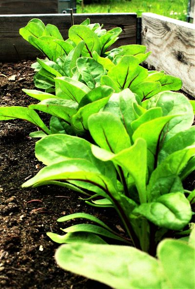 Agriculture Close-up Day Food Fragility Freshness Green Color Growth Healthy Eating Leaf Lettuce Nature No People Outdoors Plant