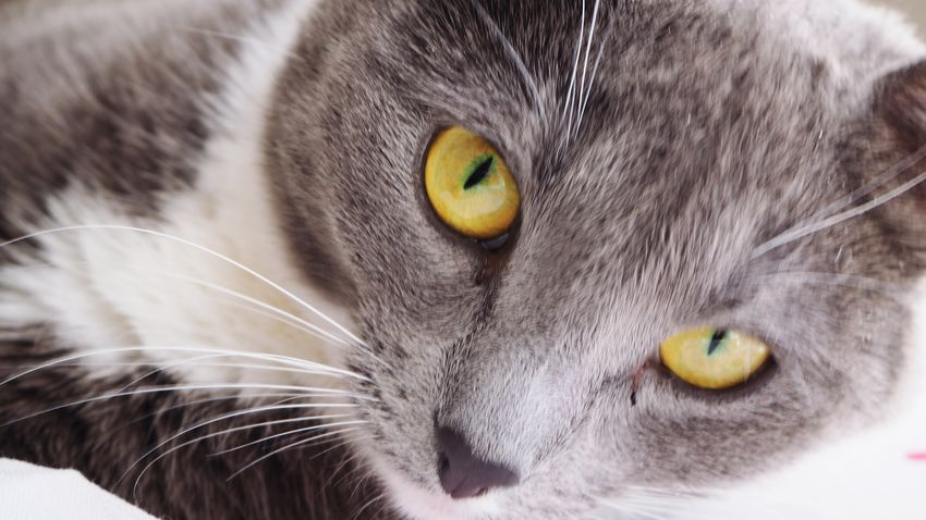 One Animal Pets Domestic Cat Animal Themes Domestic Animals Whisker Portrait Looking At Camera Close-up Feline Animal Head  No People Day