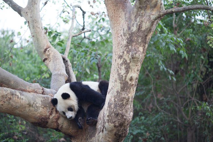 Panda climbing on tree at zoo