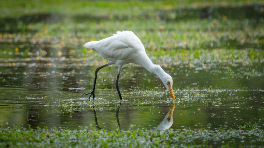 Side view of white bird drinking water in lake