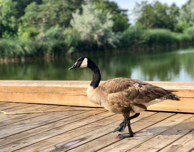 Canada goose walking on pier against lake
