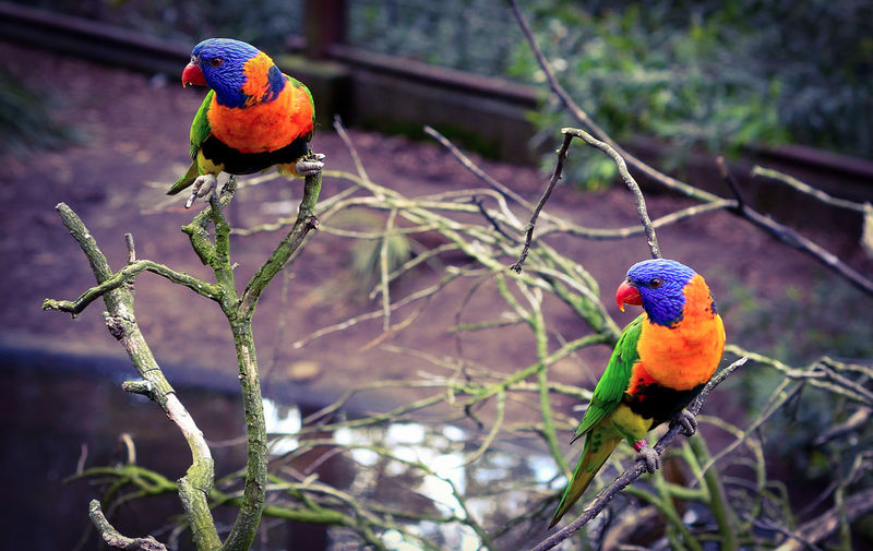 Close-up of rainbow lorikeets perching on plants
