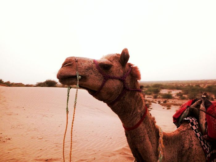 Camel Desert Beauty Ship Fo Desert Sunset Beautiful Nature Great Sunset Last Night... Rajasthan Cool Camels Like For Like Like For Follow