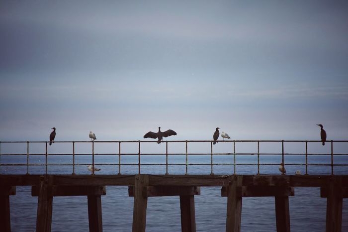 Birds Bird Photography Cormorant  Perching Sea Beach Seagull Silhouette Flock Of Birds Sky Water Bird Sea Bird