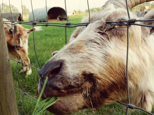 Hungry goat Animal Themes Mammal Livestock Field No People Close-up Grass Outdoors One Animal Goat Grass Countryside Farm Animals EyeEm Best Shots