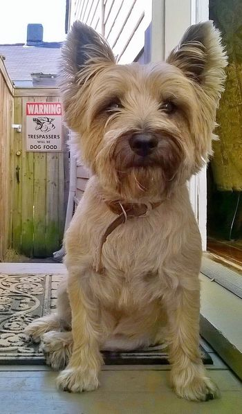 Cairn Terriers Dog Pets Animal Themes Guard Dog Domestic Animals One Animal Hamish Scottish