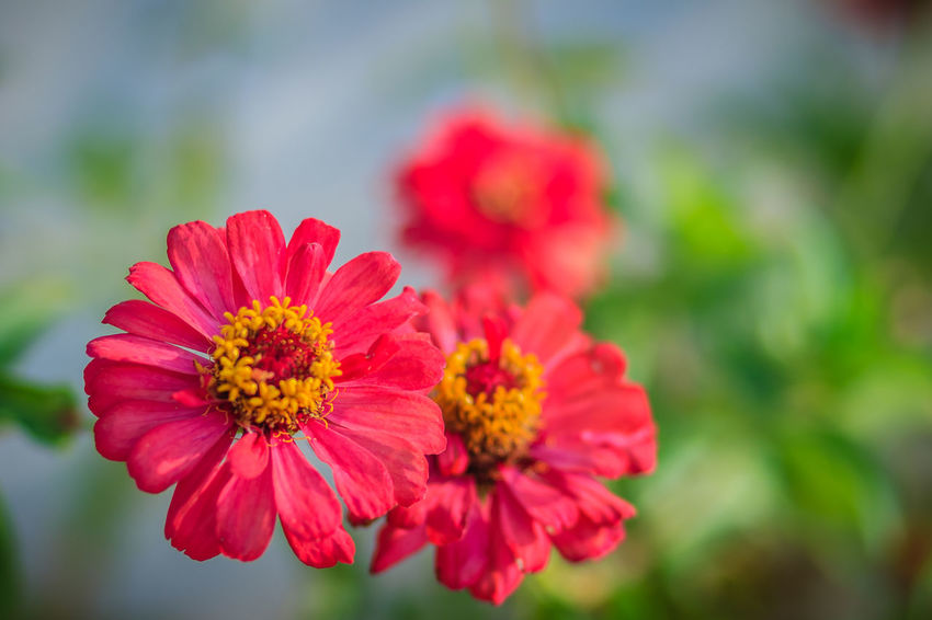 Beautiful Red pink Zinnia flower top view in summer garden (Zinnia violacea Cav.) on sunny day. Red Pink Flowers Zinnia  Zinnia Flower Zinnia Violacea Cav. Beauty In Nature Close-up Day Flower Flower Head Flowering Plant Focus On Foreground Fragility Freshness Growth Inflorescence Nature No People Outdoors Petal Plant Pollen Red Red Pink Red Pink Flower Red Pink Green Plant Vulnerability  Zinnia  Zinnia Bud Zinnia Detail Zinnia Detail Macro Zinnia Flower Zinnia Flowers Zinnia Flowers In Bright Sunshine Zinnia Plant Nature Zinniaflower Zinnias Zinnias, Flowers