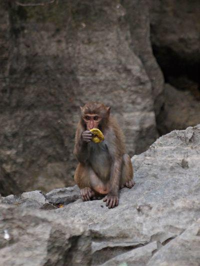 Monkey eating fruit while sitting on rock