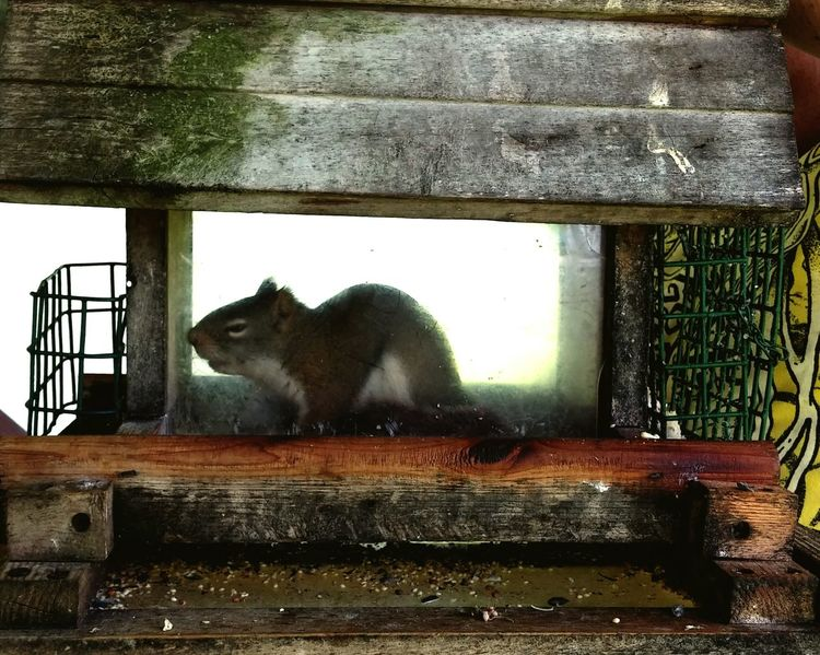 Red squirrel, busted. Nature On Your Doorstep