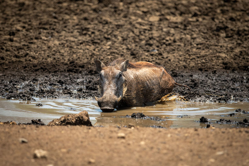 View of lion drinking water from beach