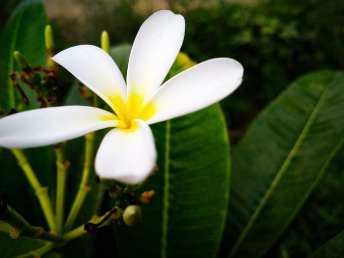 Jesmin Flower