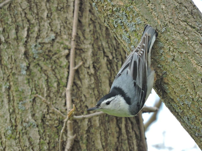 Nuthatch On Branch Animal Wildlife Animal Themes Animals In The Wild Animal One Animal Bird Vertebrate Tree Trunk Tree Trunk Plant Focus On Foreground Perching No People Nature Day Close-up Woodpecker Outdoors Plant Bark