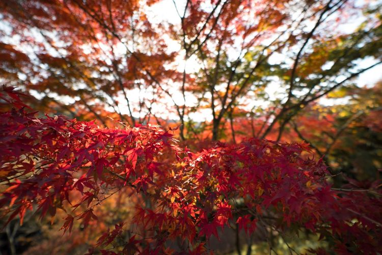 Red Nature Tree Growth Beauty In Nature Leaf Change Autumn Maple Tree No People Maple Leaf Low Angle View Outdoors Day Forest Branch Close-up Freshness