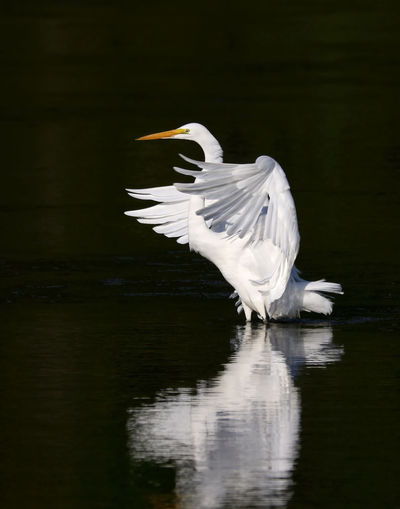 Egret Over Water At Night