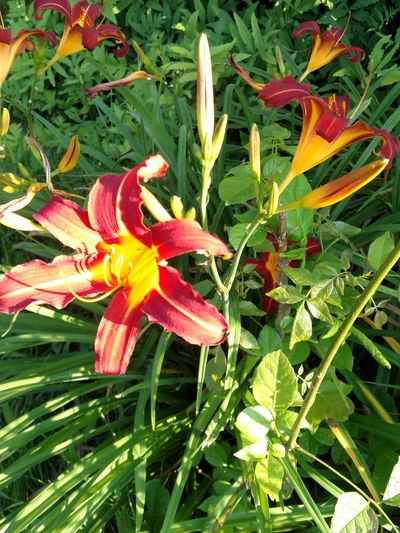Growth Freshness Nature Plant Flower Beauty In Nature Green Color No People Outdoors Flower Head Fragility Blooming Day Lily Close-up Leaf Plant Signsofsummer
