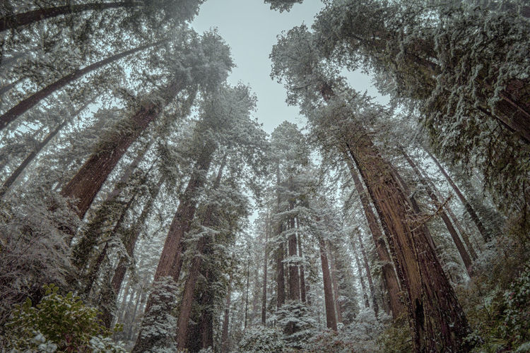 California redwoods in snow. Tree Plant Forest Land Nature Tranquility Growth Beauty In Nature No People Low Angle View Trunk Tree Trunk Day WoodLand Tranquil Scene Scenics - Nature Non-urban Scene Cold Temperature Winter Outdoors