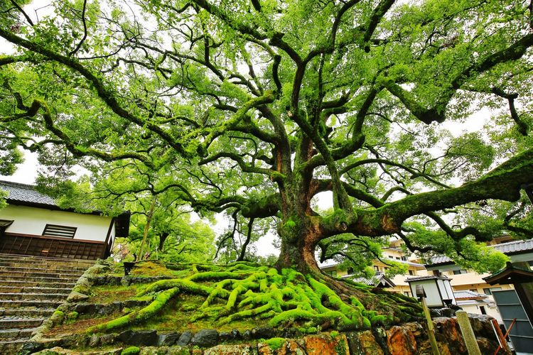 Sacred Tree. My Japan Journey Moss Mossy Tree Old Japanese  Japanese Culture Japan Scenery Japanese Style Japanese Garden Japanese Temple Idyllic Sony Japanese  Plant Nature Nature_collection Nature Photography Travel Traveling Travel Photography EyeEm Best Shots EyeEm Selects EyeEm Nature Lover EyeEm Gallery EyeEmBestPics Eyeemphotography EyeEm Best Shots - Nature Travel Destinations Scenics Scenics - Nature Tree Branch Sky Green Color Building Exterior Growing Green Plant Life Lush Foliage Greenery Tranquility