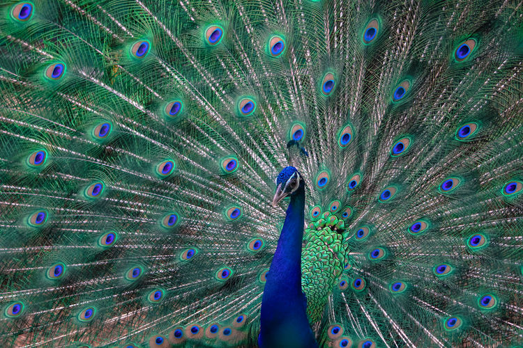 peacock dance Animal Wildlife Animals In The Wild Beauty In Nature Bird Blue Close-up Day Fanned Out Horizontal Nature One Animal Outdoors Peacock Peacock Feather Person