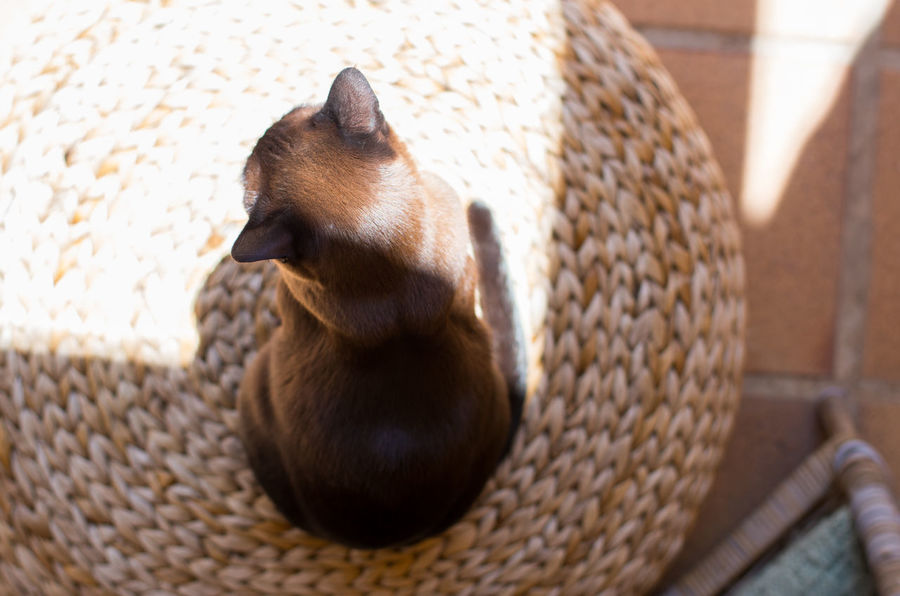 Animal Themes Brown Cat  Burmese Cat Cat Day Domestic Animals Domestic Cat One Animal Pets Sitting Sunny