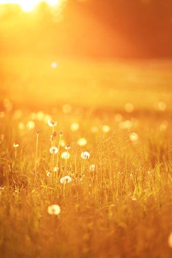 Close-up of wet grass during sunset