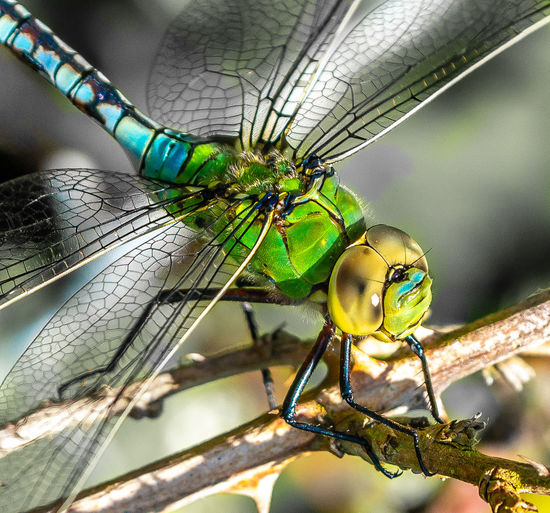 The Emperor will see you now Emperor Dragonfly Animal Animal Body Part Animal Eye Animal Themes Animal Wildlife Animal Wing Animals In The Wild Close-up Damselfly Day Dragonfly Emperor Focus On Foreground Green Color Insect Invertebrate Nature No People One Animal Outdoors Perching Plant Zoology