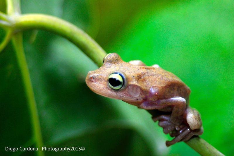 Frog Green Canon _DiegoCardona