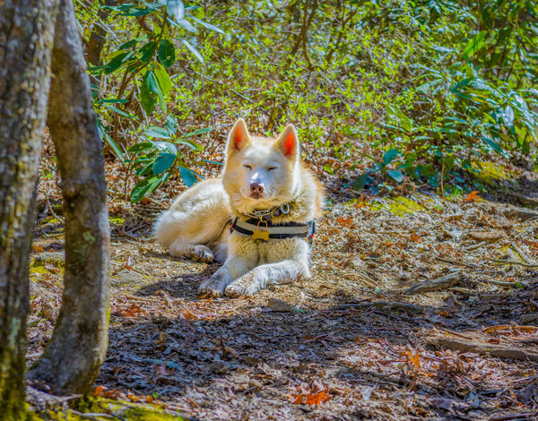 White dog relaxing along the trail Hiking Relaxing Tree Canine Dog Ears Fluffy Forset Friendly Fur Furry Leaf Leaves Trail Trunk White Background