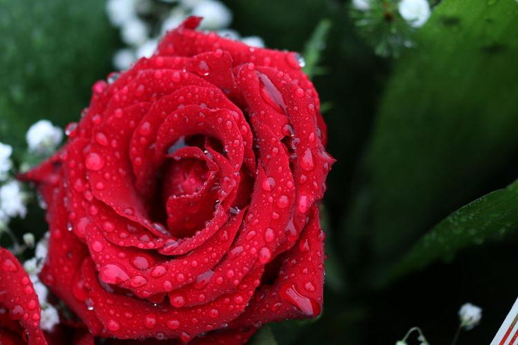 Red Beauty In