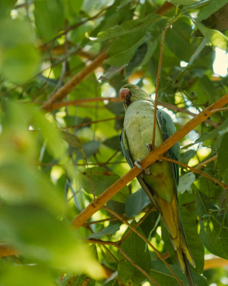 Animal Themes Perching Animal One Animal Animal Wildlife Vertebrate Plant Animals In The Wild Bird Tree Leaf Green Color Growth Plant Part Branch Day Parrot Nature No People Beauty In Nature Outdoors