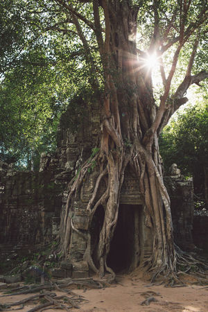 Siem Reap Cambodia Angkor Tree Plant Nature Growth Land Tree Trunk Trunk Day Forest Sunlight No People Root Outdoors History Architecture Tranquility The Past Sunbeam Plant Part Beauty In Nature