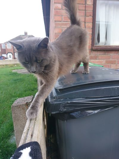 Grey Cat Stretching Cat Bin Wheely Bins EyeEm Selects Pets Domestic Cat Residential Building House Architecture Building Exterior Cat Feline Whisker Domestic Animals