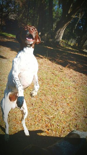 Bestfriend German Shorthaired Pointer Check This Out Hi! Cheese! Gsp Hello World Taking Photos Badass Running Free Legs Up Pookie  Photography In Motion