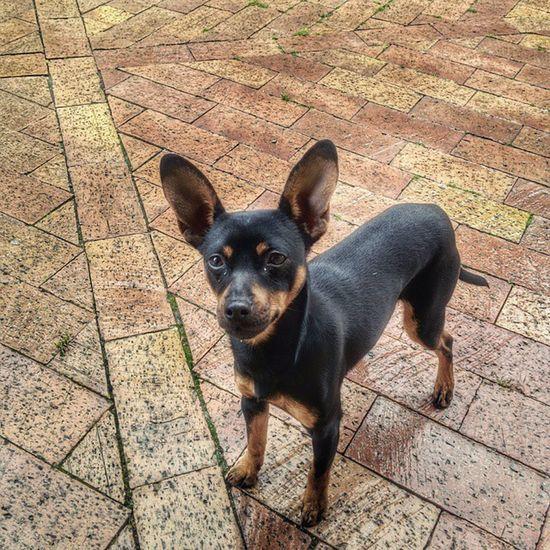 Ecco la zingarella Lola Lola BuonaDomenica  Buongiorno Nexus5 googlecamera LuciDistortePhoto Moment Dog pincher Sweet LoveDog