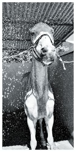 Horse Horse Photography  Shower Time Shower Sprinkles Blackandwhite Water Portrait Looking At Camera Young Women Front View Close-up Horseback Riding