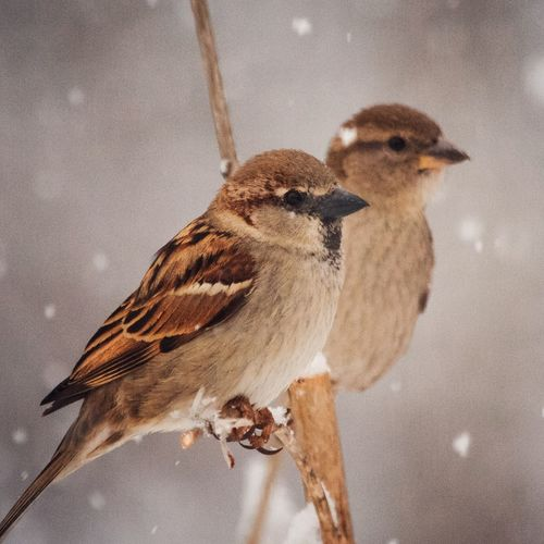 Backyard Birds Couple Telephoto Snow Winter Animal Themes Animal Vertebrate Animal Wildlife Animals In The Wild Bird One Animal No People Perching Day Nature Close-up Zoology Outdoors Sparrow