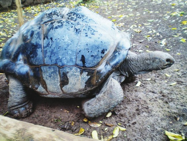 Turtle Giant Mauritius
